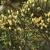 Blütenzapfen des Kanarischen Wacholders . El Hierro . Kanarische Inseln 2018 (Foto: Andreas Kuhrt)