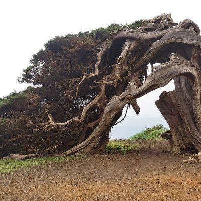 El Hierros Wahrzeichen: Wacholderbaum La Sabina . El Hierro . Kanarische Inseln 2018 (Foto: Andreas Kuhrt)