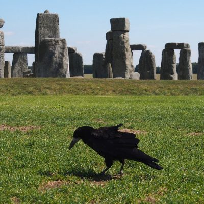 Rabe vor Stonehenge . bei Amesbury . Wiltshire . Südengland (Foto: Andreas Kuhrt)