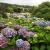 Hortensien im Oberen Garten . Lanhydrock House . Cornwall . Südengland (Foto: Andreas Kuhrt 2016)